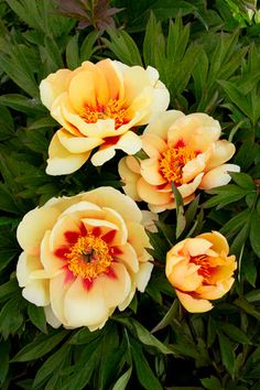 Misaka Itoh peony, heat and disease resistant.