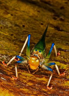 Rainbow katydid Vestria Science For Kids, Science Nature, Little Critter, Bugs And Insects, Natural Wonders, Worms, Animals Beautiful, Mammals, Permaculture