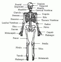 Human 3d skeletal system diagram pictures of the skeleton system human skeleton diagram with labels ccuart Image collections