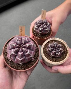 Spectacular photos of desert plants by Wachirapol Deeprom, a gifted self-taught photographer, and cactus lover currently based in Bangkok, Thailand. Growing Succulents, Cacti And Succulents, Planting Succulents, Cactus Plants, Planting Flowers, Succulent Planters, Hanging Planters, Garden Plant Stand, Home Garden Plants
