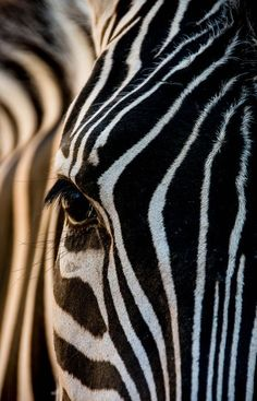 The Zebra ** Photo by Julian John    yourshot.nationalgeographic.com