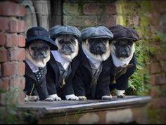Peaky pug blinders