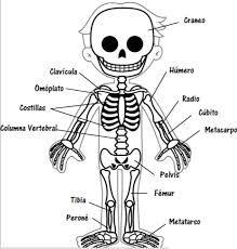 Resultado De Imagen Para Dibujos Esqueletos Para Ninos Esqueleto Humano Para Ninos Cuerpo Humano Para Ninos Imagenes Del Esqueleto Humano
