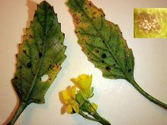 Peronospora brassicae (mana cruciferelor)