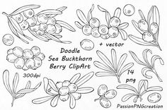 Doodle sea buckthorn berry clipart Digital floral clip art