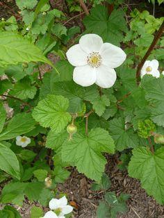 Une rose ? Non, une ronce (Rubus tridel 'Benenden') http://www.pariscotejardin.fr/2012/04/une-rose-non-une-ronce-rubus-tridel-benenden/