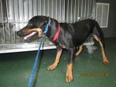 SAFE --- SHELL (A1646415) I am a female black and brown German Pinscher mix.  The shelter staff think I am about 1 year and 3 months old.  I was found as a stray and I may be available for adoption on 09/26/2014. — hier: Miami Dade County Animal Services. https://www.facebook.com/urgentdogsofmiami/photos/pb.191859757515102.-2207520000.1411342796./843515562349515/?type=3&theater