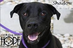 Shadow is an adoptable Labrador Retriever Dog in Alton, IL.   Shadow is a two year old Black Lab/Pit Bull mix male. He weighs 68 lbs, and is house trained, crate trained, leash trained.  He likes car ...