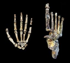 The hand and the foot of Homo naledi.