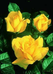 Rose Sunbrite- supposed to be one of the best yellow roses