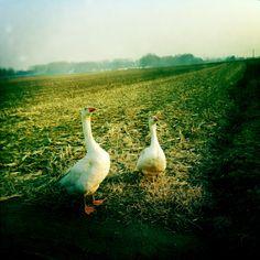 lose the goose