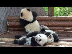 Three Panda Babies at Chengdu 2013 December 大熊猫 パンダ
