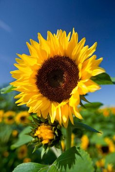 Sunflower Photography, Nature Photography, Photography Flowers, Summer Flowers, Pretty Flowers, Beautiful Flowers Photos, Hd Flowers, Yellow Flowers, Photos Of Flowers