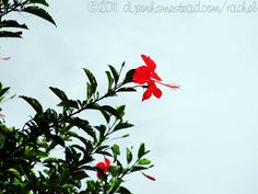 Red Hibiscus Flower. You see them all over here in Costa Rica. from Guanacaste Province, Costa Rica.