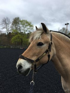 My trainer's Fjord❤️ Different Horse Breeds, Baby Animals, Cute Animals, Fjord Horse, Horse Treats, Most Beautiful Horses, Funny Horses, Draft Horses, Horse Farms