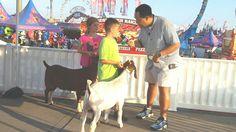 4-H Goat Show competitors