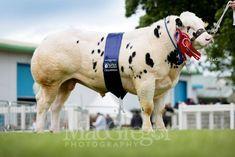 British Blue bull Solway View Jackpot