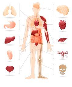diabetes organs - Google Search