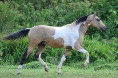 HP Pernambuco (x Esteio Mischief) Beautiful Horses, Simply Beautiful, Campolina, Suffolk Punch, Horse World, My Horse, Horse Breeds, Dressage, Farm Life