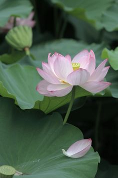Lotus flower in Banpaku Nihon Garden, Osaka, Japan: photo by mptfk