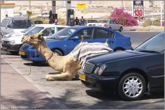 Life in BEERSHEVA - camels were typical in the souk, where they were sold when I lived there - and it was nothing to see a car filled with goats - really!! ..or riding a bus temporarily halted by grazing animals crossing the roads and streets.