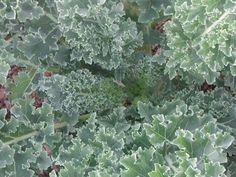 Vates Kale 2013 seeds