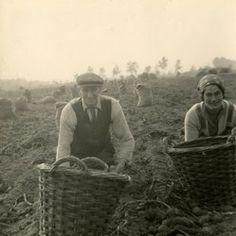 Op de knietjes om aardappelen te rapen!
