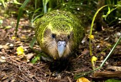 The Kakapo Parrot: is the World's Most Favorite Species