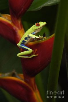 ☆ Tree Frog :¦: Photograph By Bob Christopher ☆