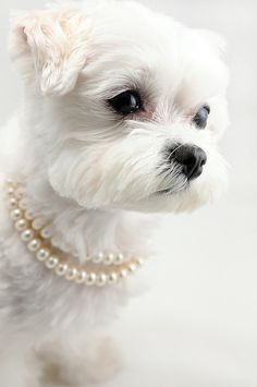 Let it be known, I've never done this to @SirEchotheDog, but now I'm tempted, but are pearls appropriate for make dogs?  ...puppies in pearls, so cute!