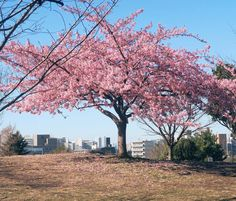Tokyo is blooming ! This is my #Favorite #park I talked on the #radio this #morning ;) いつも通りすがるお気に入りの公園には10日前から花が咲いてるよ() ちょっとはやい #お花見 #ピクニック はやくしたい