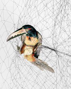 Ornithological Photographs © Todd Forsgren