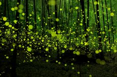 Photo credits: Yume Chan.    These incredible long exposure photographs of fireflies were taken by Yume Cyan in Japanese forests in Nagoya and Okayama.    It is interesting to note how the intermittent illumination of the flies is exposed as a series of dots rather than a motion blur. As dawn arrives, one fly buzzes with all lights blazing only to fade away into the light.