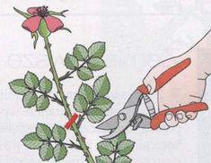 Cięcie krzewów róż pielęgnacja róż związana z cięciem Cięcie krzewów róż, pielęgnacja róż – porady o różach Book Art, Virgo, Gardening, Roses, Flowers, Virgos, Lawn And Garden, Horticulture