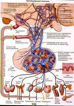 The pituitary gland affects everything! Netter Pituitary Hormone Illustration