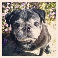 Love the graying black pug face! Looks just like my Kiwi! Cute Pugs, Cute Funny Animals, Funny Pugs, Cutest Dogs, Pug Love, I Love Dogs, Pug Dogs For Sale, Old Pug, Black Pug Puppies