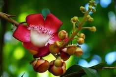 Cannonball Tree Blossom, Deerfield Arboretum, Florida Red River Gorge, Image Resources, Tumblr Image, Dream Book, You Are The World, Photo Essay, Florida Beaches, Greece Travel, Beautiful Images