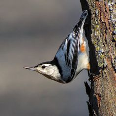 White-Breasted Nuthatch. Bill Tiepelman