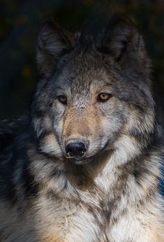 Discover and share the world's best photos / Wolf Spirit, My Spirit Animal, Brave Animals, Cute Animals, Wolf Pictures, Animal Pictures, Wolf Time, Wolf World, Howl At The Moon