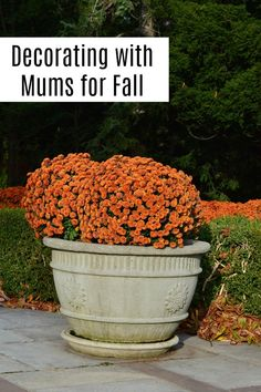 Decorate with mum for bright fall color. See why everyone's doing it, how to care for them, and why you might want to add a few to your interior. Caring For Mums, Fall Months, Living On A Budget, Parcs, Autumn Garden, Decorating Your Home, Decorating Ideas, Decor Ideas, Fall Flowers