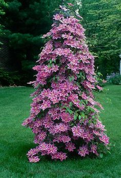seeds flower clematis vines bonsai flower seeds perennial flowers climbing clematis plants for home garden Climbing Clematis, Clematis Plants, Clematis Flower, Clematis Vine, Flowers Perennials, Planting Flowers, Bonsai Flowers, Climbing Flowers, Petunia Flower