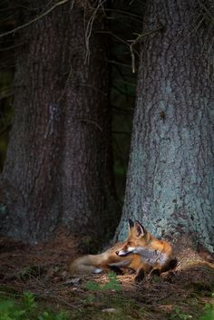 Red fox at home in the forest.