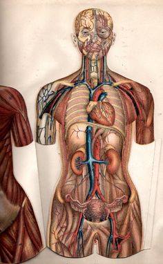 Worksheets: Systems of the Human Body (Grades 3-5). A collection of worksheets on the circulatory, digestive, respiratory, skeletal, and central nervous systems, as well as an overall study guide. http://www.curriki.org/xwiki/bin/view/Coll_bigleyj/SystemsoftheHumanBody