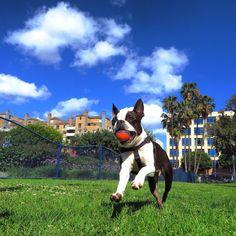 Boston Terriers On Reddit