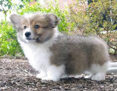 The Daily Corgi: Puppy Cam: Ed The Corgi!