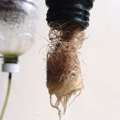 Basil roots in one of my vertical aquaponic bottle. I had to cut them off to prevent clogging...