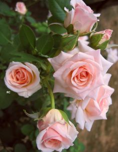 Beautiful Pink Roses, Romantic Roses, Beautiful Flowers, Special Flowers, Cellphone Wallpaper, Flowering Trees, Spring Flowers, Flower Art, Orchids
