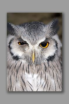 A Scops Owl greeting card featuring a Scops Owl – a tiny owl that is big on attitude – looking right at us with one eye half closed. Animal Cards, White Envelopes, Card Stock, Attitude, Owl, Greeting Cards, Bird, Prints, Animals