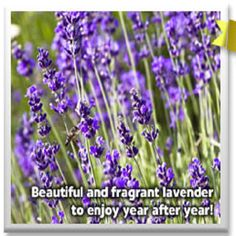 Lavender Plants   Fragrance and Beauty From Spring To Fall