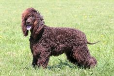 The Irish Water Spaniel: The Only One To Be This